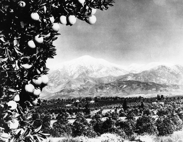 Citrus grove with Mount Baldy in the background. Photo courtesy of Los Angeles Public Library Photo Collection.